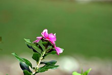 Pink Periwinkle Flowers With L...