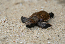 Baby Turtle On The Beach On Its Way Into The Ocean After Hattching
