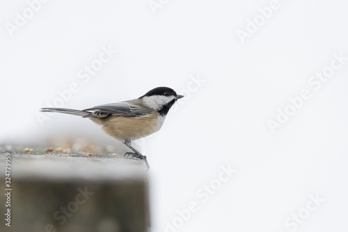 Stampa su Tela Beautiful shot of a black and white songbird standing on a stone on a white back