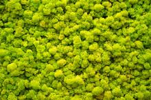 Reindeer Moss Wall, A Green Wa...