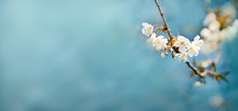 White Springtime Cherry Blossom Flowers On A Tree Branch Against A Blue Sky Background.