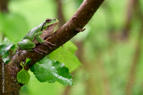 Green frog sitting on a tree Canvas Print