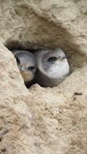 Nestlings Swifts