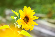 Yellow Sunflower Flower On A S...