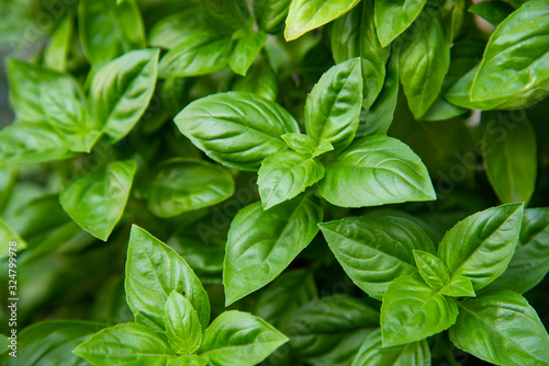fresh basil leaves Fototapet