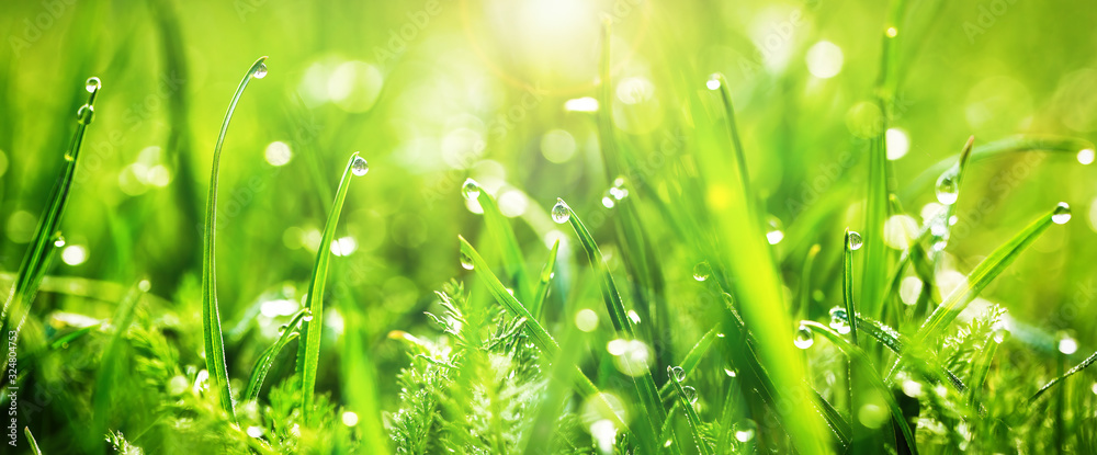 Fototapeta Fresh juicy young grass in droplets of morning dew, spring on a nature macro. Drops of water on the grass, natural wallpaper, panoramic view, soft focus.