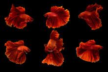 Halfmoon Betta Fish.Siamese Fighting Fish.red Fighting Fish Isolated On Black Background.