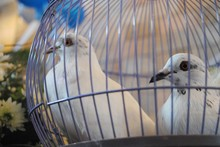 Two White Birds In A Cage Used...