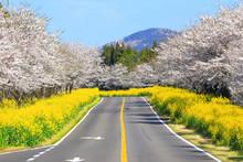 벚꽃과유채꽃이 아름다운 제주 녹산로의 봄 풍경이다.