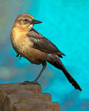 Female Boat-tailed Grackle Perched In A GQ Pose, A Paintography Portrait Of This Lovely Bird