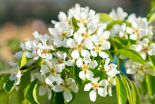 Pear Tree Blossom Close-up. White Pear Flower On Naturl Background. Fruit Tree Blossom Close-up. Shallow Depth Of Field