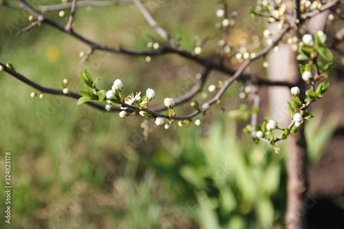 Fotografie, Tablou The unopened buds of the sloe