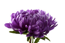Violet Aster Isolated On White