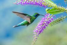 Action Scene With Hummingbird Tourmaline Sunangel, Eating Nectar From Beautiful Yellow Flower In Ecuador.