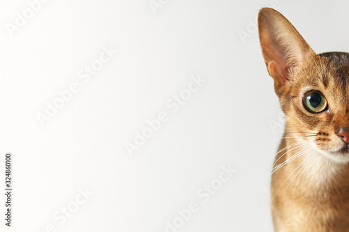 Fototapeta Young brown abessin cat Half of muzzle close up portrait on a white background Free place. Cat portrait close up, only head crop, cat stare at the viewer with space for advertising and text, cat head. obraz