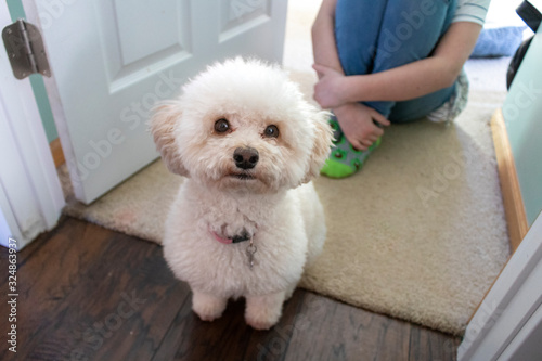 Small White Cockapoo Dog Breed well groomed Wallpaper Mural