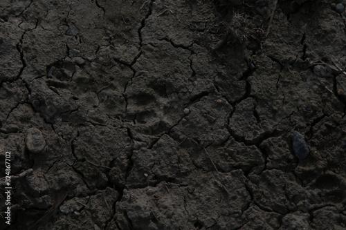 Vászonkép Impronta di animale selvatico sul terreno bruciato