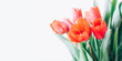 Closeup of red tulip bouquet isolated on white background. Creative spring flower bud frame. Easter and seasonal holiday spring banner.