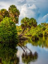 Palm Trees Overhanging Myakka River In Venice Florida