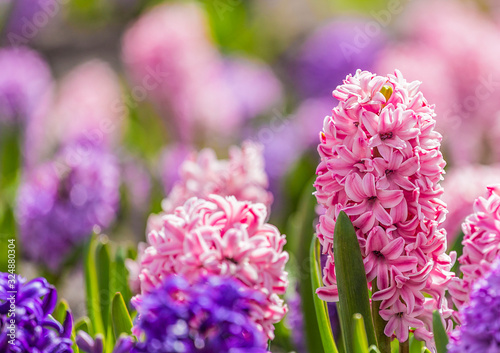 Obraz na plátně Close up of large flower bed with multi-colored hyacinths, traditional easter fl