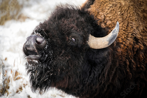 American Bison - Smile Canvas Print