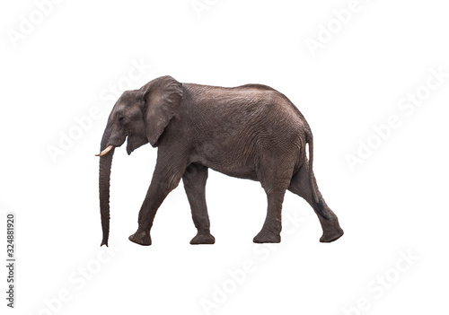 Side view African Elephant walking ,  isolated. Canvas Print