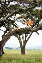 Roaring Lioness In The Tree