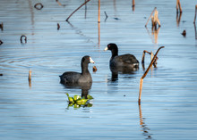 American Coots In 40 Acre Lake - Brazos Bend State Park!