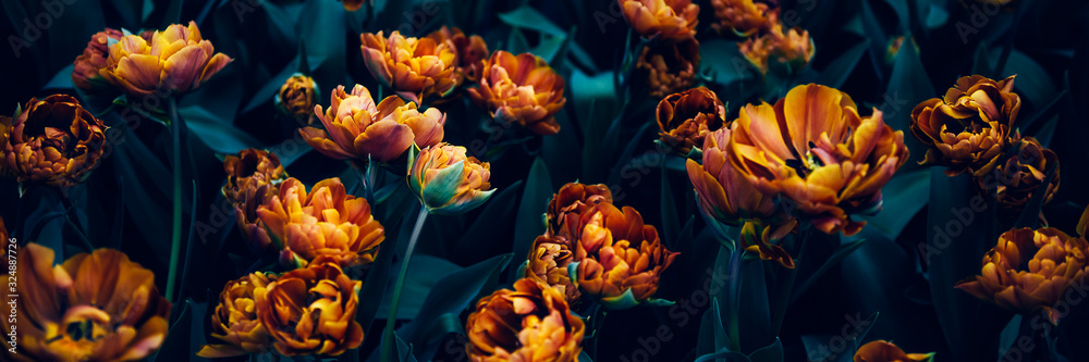 Fotografie, Obraz Close up of blooming flowerbeds of amazing orange parrot tulips during spring