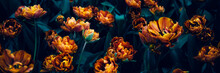Close Up Of Blooming Flowerbeds Of Amazing Orange Parrot Tulips During Spring. Public Flower Garden, Netherlands. Dark Moody Photo