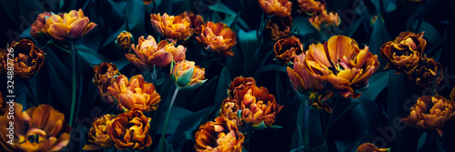 Fototapeta Close up of blooming flowerbeds of amazing orange parrot tulips during spring. Public flower garden, Netherlands. Dark moody photo obraz