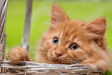 Ginger Cat In A Wicker Basket ...