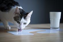 Cat Licking Milk Spilled On A ...