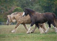 Gypsy Cob Horse Mares Running ...