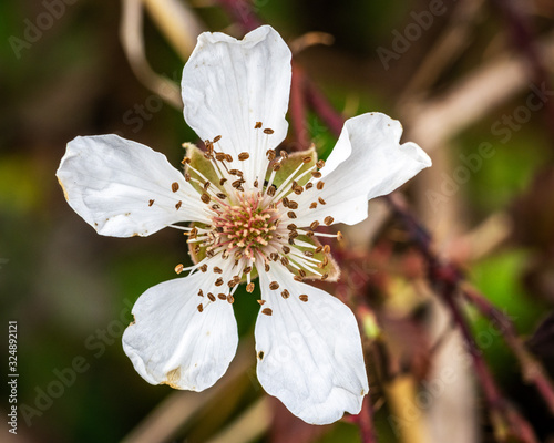 Southern Dewberry along the Shadow Creek Ranch Nature Trail in Pearland! Slika na platnu