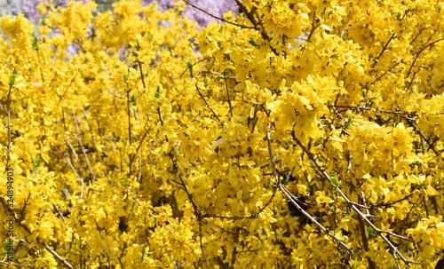 Yellow Forsythia bush in bloom