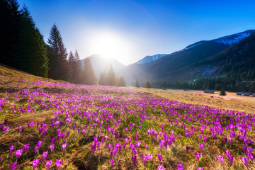 Beautiful spring landscape of mountains with crocus flowers