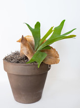 Potted Staghorn Fern With Brown Sterile Shield