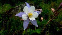 White And Blue Columbine Flower