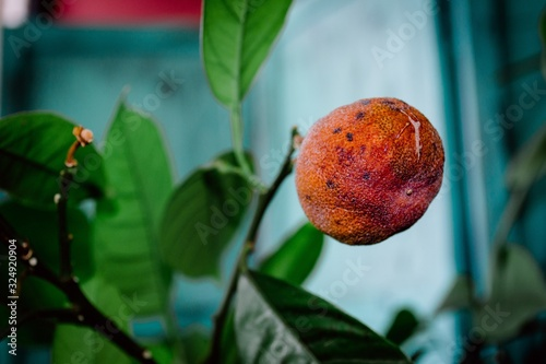 Closeup shot of a shriveled orange fruit attached to a branch Canvas-taulu