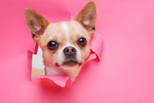 Portraite Of Cute Puppy Chihua...