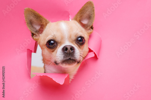 Portraite of cute puppy chihuahua climbs out of hole in colored background Wallpaper Mural