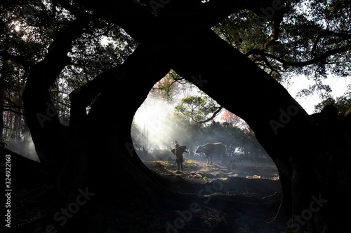 Fototapeta Mesmerizing view of a Chinese villager with a cow in the forest during sunrise i