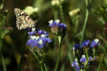 Painted Lady Butterfly (Vanessa Cardui), Wings Closed, Feeding Pollen, Collects Nekrar From White And Blue Flowers (Limonium). Butterfly With Wings, Top View, Summertime Background