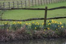 Daffodils Along Riverbank In U...