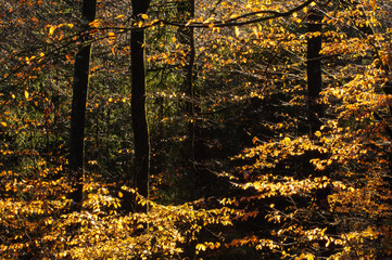 Fototapeta Las Sunlight on trees in forest in Autumn, Sweden.