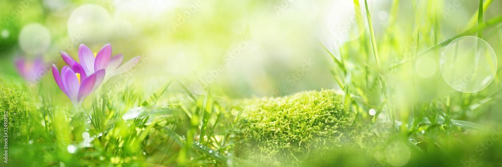 Fototapeta Crocuses in spring