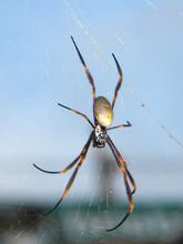 Golden Silk Orb Weaver Spider ...