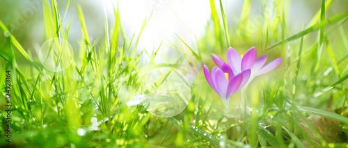 Obraz Crocuses in spring - fototapety do salonu