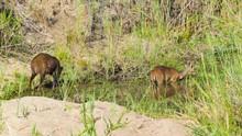 Bushbuck Pair Feeding In Afric...